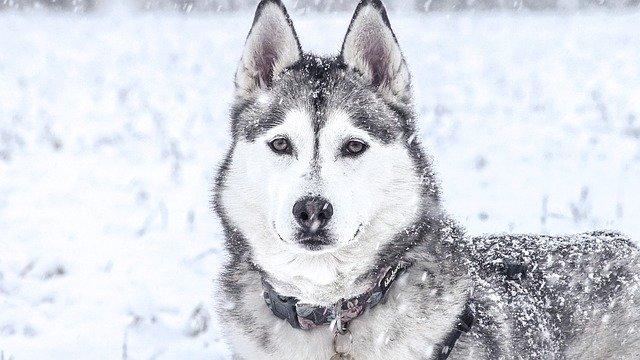husky ve sněhu