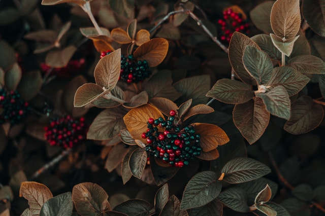 kustovnice čínská s plody